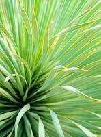 Primer plano de plantas suculentas, detalle de hojas de yuca de hoja estrecha foto