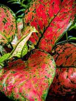 Beautiful color on leaf of Aglaonema tropical houseplant photo