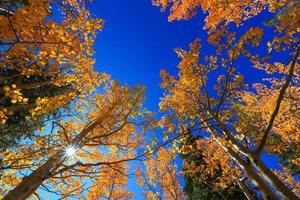 Tall colorful aspen trees reaching blue sky in autumn time photo