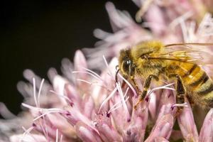 Close up shot of honey bee on a pink flower photo