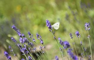 Lavender flowers on the field photo