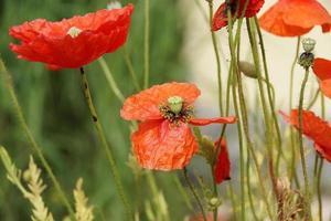 amapolas rojas en el prado foto