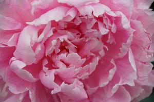 Paeonia lactiflora, pink peony photo
