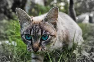 gato de ojos verdes foto