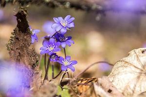 flores violetas en un bosque foto
