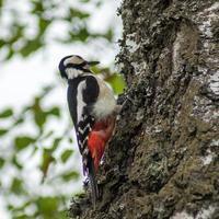 el pájaro carpintero está ocupado foto
