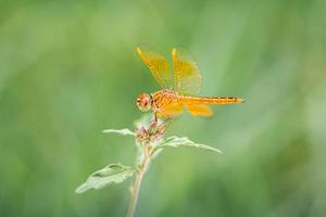 Close focus on orange dragonfly standing on top of small tree. photo