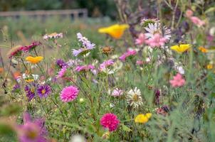 campo de la flor del cosmos, prado con aster, manzanilla, esholtzia foto