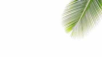 Détail de feuilles de cocotiers isolé sur fond blanc video