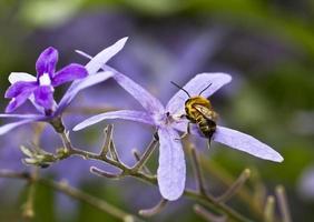 Bee on Purple Flower Petal photo