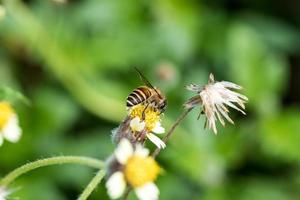 Abeja ocupada recolectando néctar de una flor de pasto silvestre foto