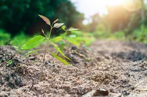 plantación de árboles de eucalipto están creciendo. foto