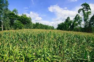 campo de maíz vista de la agricultura foto