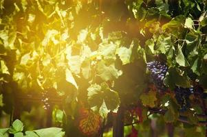 Bunches of red wine grapes hanging from a vine on the setting sun. photo