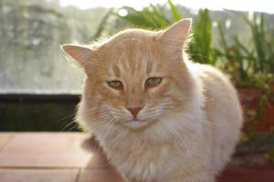 Half-haired honey-colored domestic cat photo