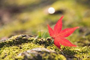 hoja de arce momiji rojo sobre el musgo verde y la roca foto