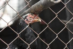 Gallina de pelea en el gallinero de la jaula de acero, concepto animal foto