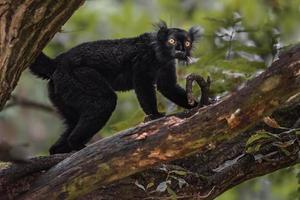Black lemur on tree photo
