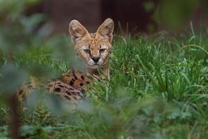 Serval in grass photo
