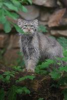 Portrait of Pallas's cat photo