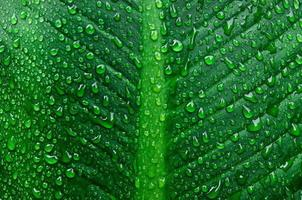 Background and wallpaper of green leaves with drops dew. photo