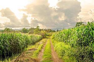 paisaje de campo de maíz con la puesta de sol, granja de campo de cultivo verde. foto