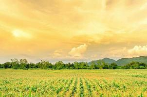 Landscape of corn field with the sunset, Farm of green crop field. photo