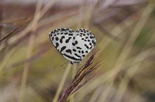 Mariposa en el jardín, macro de mariposa con punto negro en el ala foto