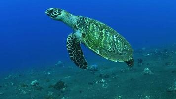 Sea turtle swims a long coral reef and looking for food. video