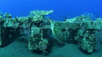 tartaruga marinha nada um longo recife de coral à procura de comida. video