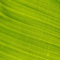 Green leaf and banana leaf, Background and wallpaper from leaf texture photo