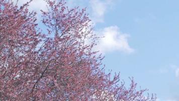 cherry blossom trees video