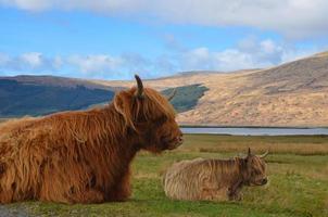 dos vacas en el campo foto