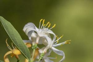 Close up shot of Honey Suckle Jasmine flowers photo