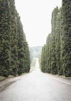Cypress trees alley photo