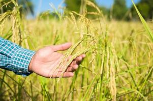Male hand tenderly touching a young rice in the paddy field. photo
