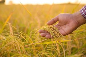 Male hand tenderly touching a young rice in the paddy photo