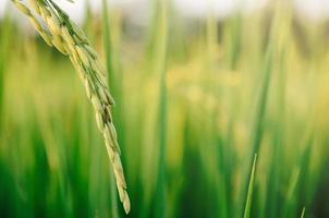 arroz con cáscara y semilla de arroz en la granja, campo de arroz orgánico y agricultura. foto
