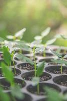 Greenery of young plant and seedling are growing in the pot. photo