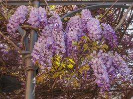 Violet Wisteria aka Wistaria or Wysteria flowers photo