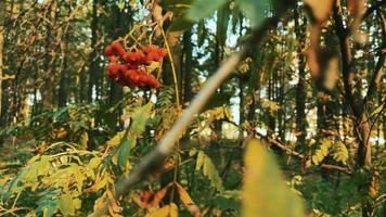 bos rode lijsterbessen sorbus aucuparia in de wind video