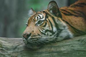 Sumatran tiger on log photo