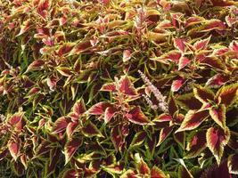 planta de ortiga pintada coleus foto