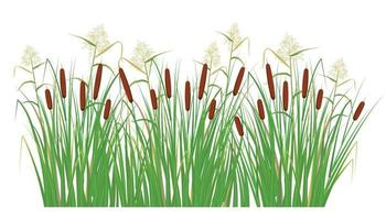 Cane and reeds in the green grass. Swamp and river plants. Vector