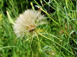 Hermosa flor de diente de león en flor esponjosa sobre fondo de color foto
