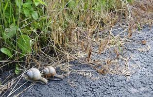 Caracol de jardín grande con concha arrastrándose por la carretera mojada date prisa en casa foto