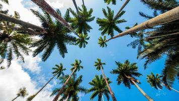 hojas de palma real con un hermoso cielo azul en río de janeiro, brasil. foto