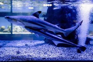 Imagen submarina de pequeños tiburones nadando en el acuario en el Oceanario foto