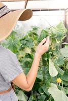 Hermosa joven cosechando pepinos frescos en invernadero foto