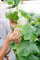 Beautiful young woman harvesting fresh cucumbers in the greenhouse photo